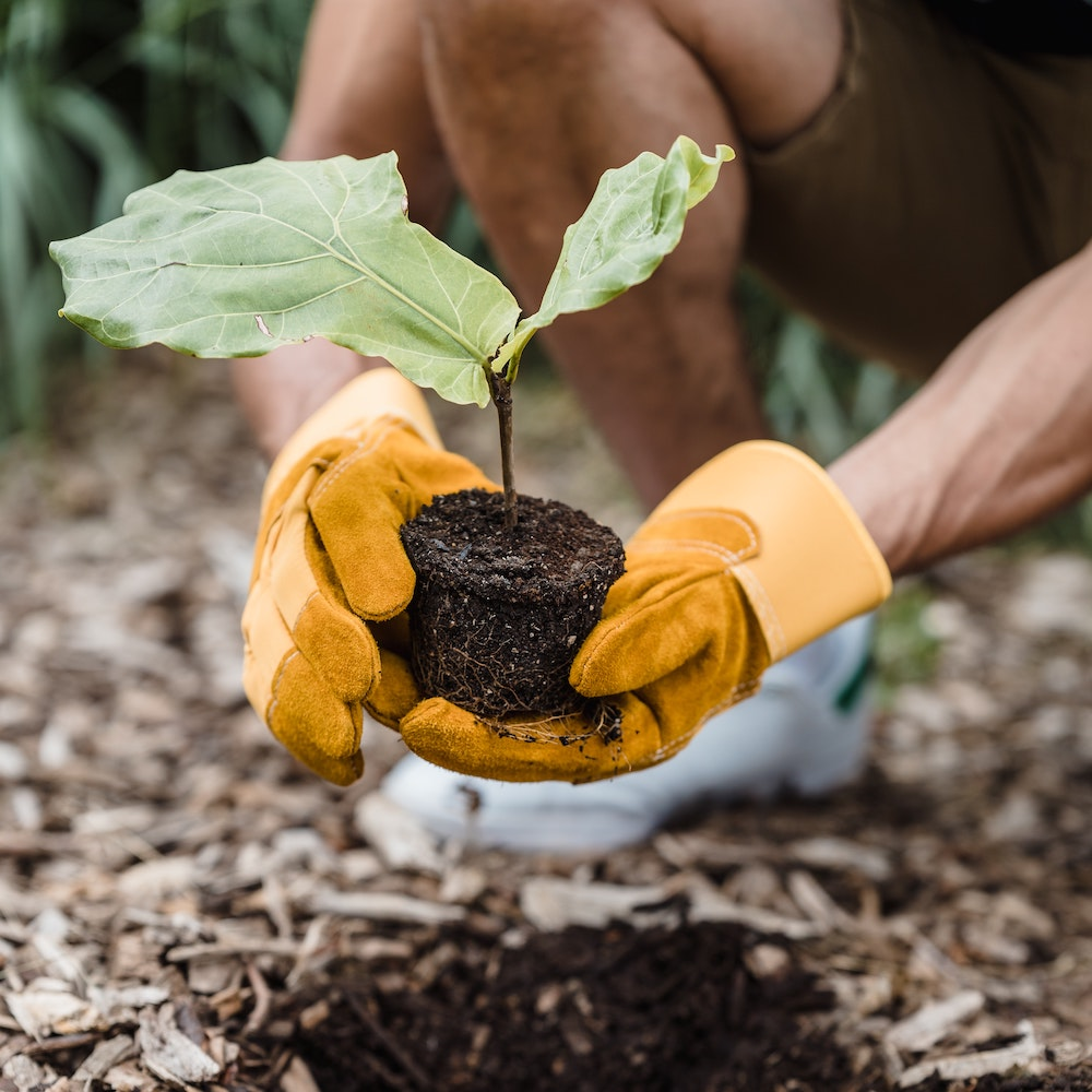 Close up of hands with yellow garden gloves planting a healthy sapling into the ground.