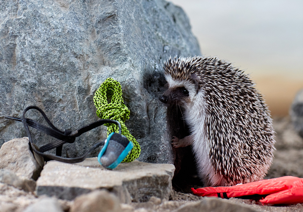 A tiny hedgehog leans up against a rock with miniature climbing gear